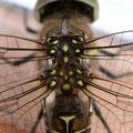 Aeshna mixta (Herbst-Mosaikjungfer) - Weibchen, Flügelansätze