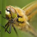 Vierfleck (Libellula quadrimaculata) - schlüpfendes Männchen