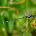 Gemeine Binsenjungfer (Lestes sponsa) - Männchen