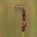 Frühe Heidelibelle (Sympetrum fonscolombii) - junges Männchen
