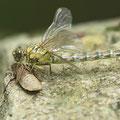 Onychogomphus forcipatus forcipatus (Kleine Zangenlibelle) - Schlüpfendes Weibchen