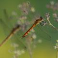 Sumpf-Heidelibelle (Sympetrum depressiusculum) - Männchen