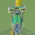 Kleine Binsenjungfer (Lestes virens) - Detail Augenrückseite