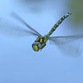 Aeshna cyanea (Blaugrüne Mosaikjungfer) - Männchen