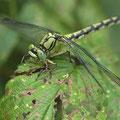 Ophiogomphus cecilia (Grüne Flussjungfer) - Weibchen