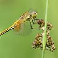 Gefleckte Heidelibelle (Sympetrum flaveolum) - junges Weibchen