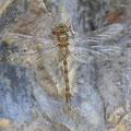 Boyeria irene (Westliche Geisterlibelle) - frisches Weibchen
