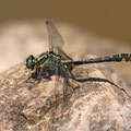 Gomphus vulgatissimus (Gemeine Keiljungfer) - Männchen