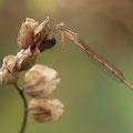 Sibirische Winterlibelle (Sympecma paedisca) - Männchen