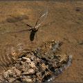 Plattbauch (Libellula depressa) - Weibchen bei der Eiablage