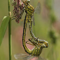 Gomphus pulchellus (Westliche Keiljungfer) - Paarungsrad