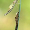 Großes Granatauge (Erythromma najas) - Weibchen beim Schlupf