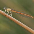 Rote Federlibelle (Platycnemis acutipennis) - Männchen