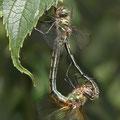 Oxygastra curtisii (Gekielter Flussfalke) - Paarungsrad