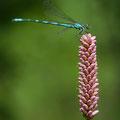 Speer-Azurjungfer (Coenagrion hastulatum) - Männchen