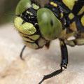 Onychogomphus forcipatus forcipatus (Kleine Zangenlibelle) - Kopfporträt eines Männchens