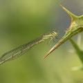 Pokaljungfer (Erythromma lindenii) - junges Weibchen