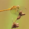 Südliche Heidelibelle (Sympetrum meridionale) - Junges Männchen