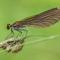 Blauflügel-Prachtlibelle (Calopteryx virgo) - Weibchen