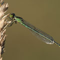 Kleines Granatauge (Erythromma viridulum) - Weibchen
