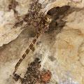 Boyeria irene (Westliche Geisterlibelle) - Weibchen
