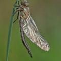 Brachytron pratense (Früher Schilfjäger) - frisch geschlüpftes Männchen