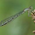 Gemeine Becherjungfer (Enallagma cyathigerum) - junges Weibchen mit starkem Milbenbefall