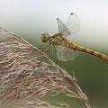 Südliche Heidelibelle (Sympetrum meridionale) - Weibchen