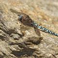 Aeshna caerulea (Alpen-Mosaikjungfer) - Männchen