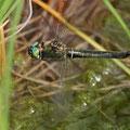 Somatochlora alpestris (Alpen-Smaragdlibelle) - Weibchen (Eiablage)
