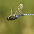 Anax imperator (Große Königslibelle) - fliegendes Männchen