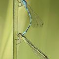 Vogel-Azurjungfer (Coenagrion ornatum) - Tandem