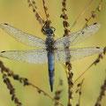 Großer Blaupfeil (Orthetrum cancellatum) - Männchen