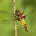 Plattbauch (Libellula depressa) - junges Männchen