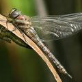 Aeshna mixta (Herbst-Mosaikjungfer) - Schlüpfendes Weibchen