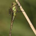 Aeshna affinis (Südliche Mosaikjungfer) - Weibchen