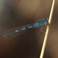 Gabel-Azurjungfer (Coenagrion scitulum) - Männchen