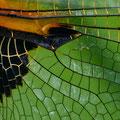 Vierfleck (Libellula quadrimaculata) - Flügeldetails