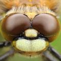Vierfleck (Libellula quadrimaculata) - Kopf