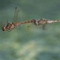 Große Heidelibelle (Sympetrum striolatum) - Tandem bei der Eiablage