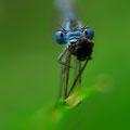 Gemeine Becherjungfer (Enallagma cyathigerum) - fressendes Männchen