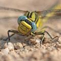 Gomphus simillimus (Gelbe Keiljungfer) - Weibchen im Porträt