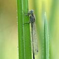 Große Pechlibelle (Ischnura elegans) - junges Weibchen