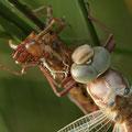 Aeshna grandis (Braune Mosaikjungfer) - schlüpfendes Weibchen