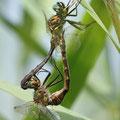 Somatochlora flavomaculata (Gefleckte Smaragdlibelle) - Paarungsrad