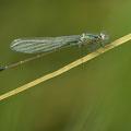 Große Pechlibelle (Ischnura elegans) - junges Männchen