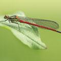 Frühe Adonislibelle (Pyrrhosoma nymphula) - Frisches Männchen