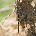 Cordulegaster bidentata (Gestreifte Quelljungfer) - Weibchen