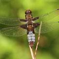 Plattbauch (Libellula depressa) - altes, bereiftes Weibchen
