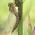 Brachytron pratense (Früher Schilfjäger) - schlüpfendes Männchen